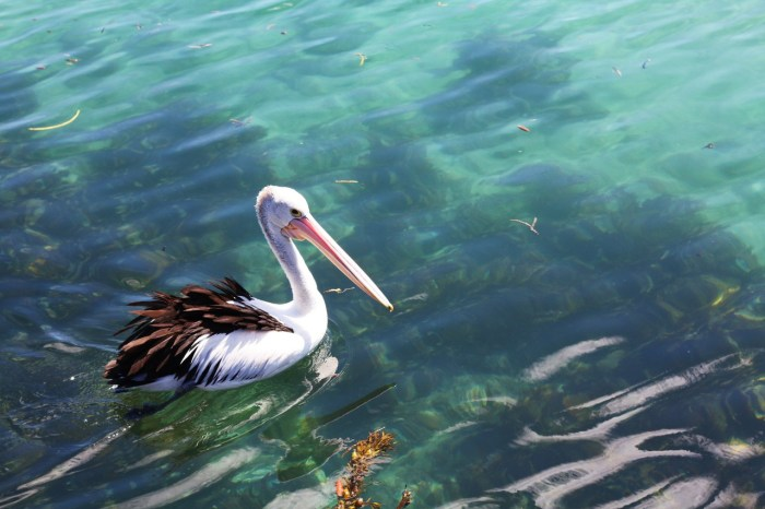 Pelican at the Harbour