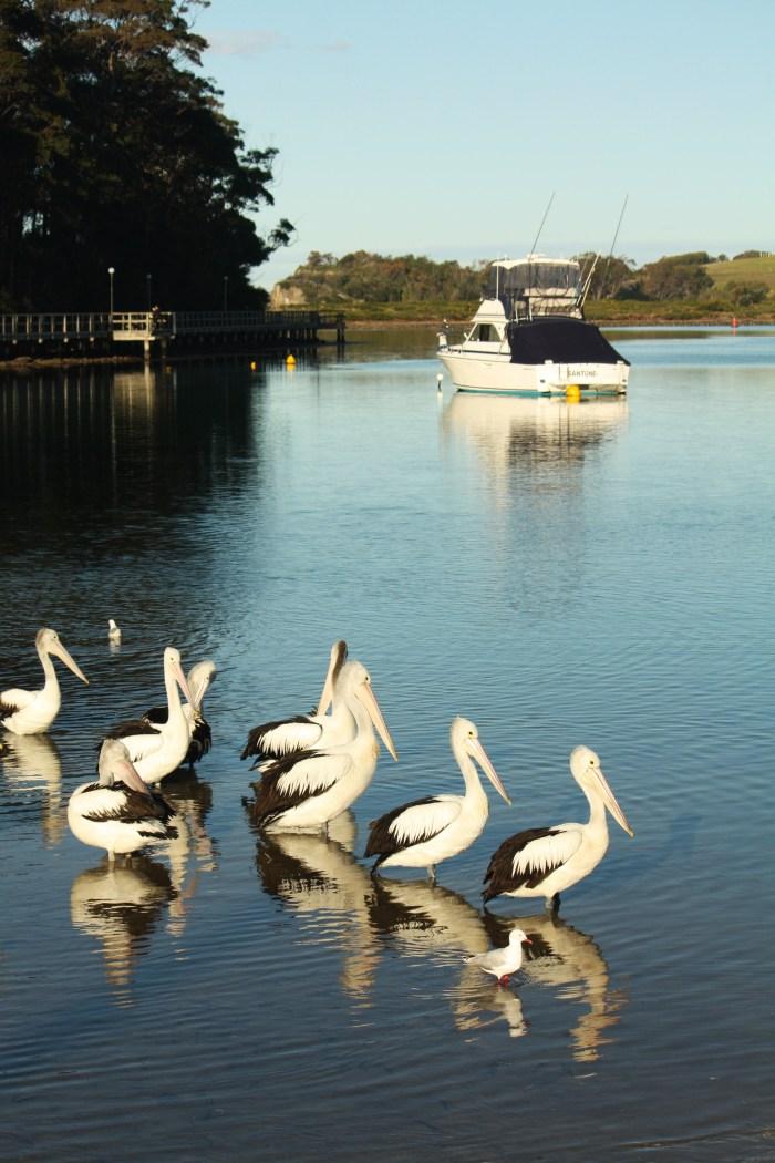 Pelicans at Narooma