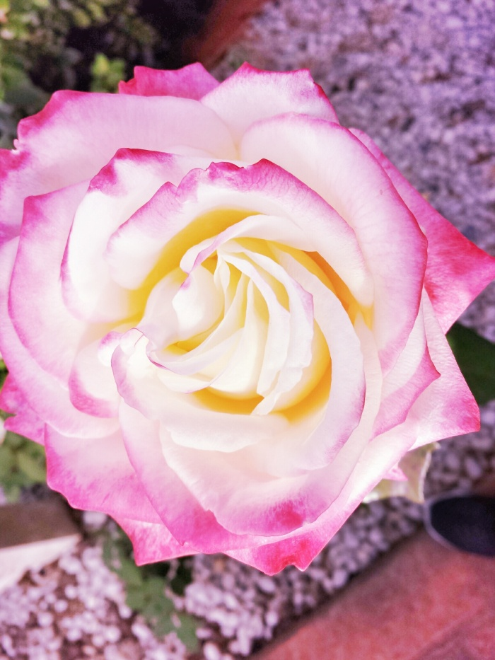 A rose from my Dad's garden...
