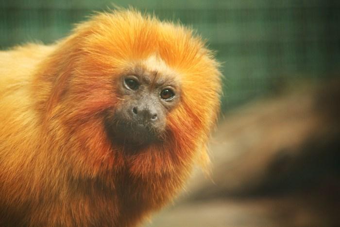 Tamrin Monkey