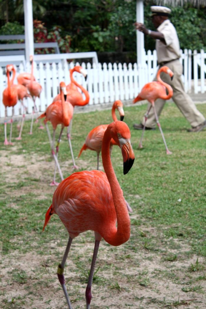 Marching Flamingo at Ardastra Gradens