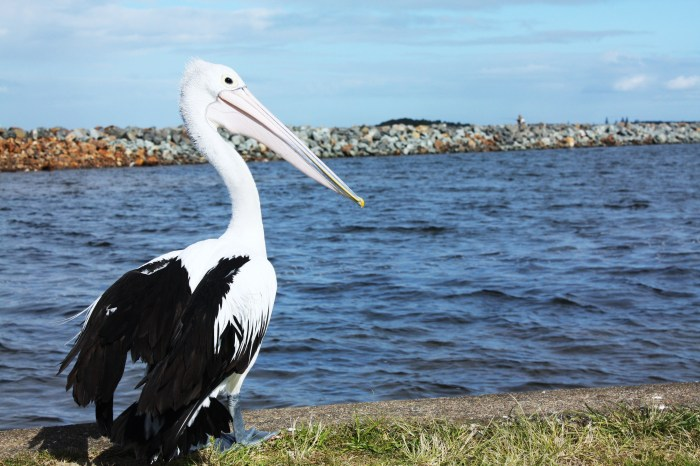 Pelican at Harrington